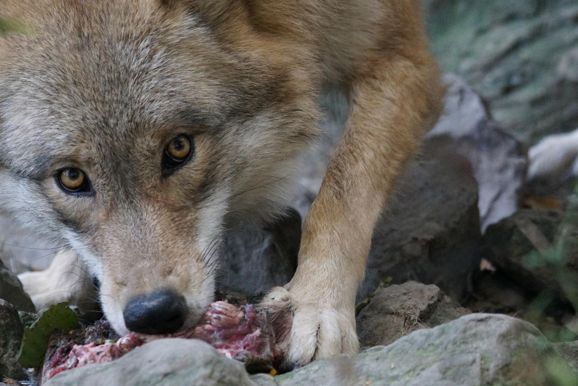 die wölfin frisst