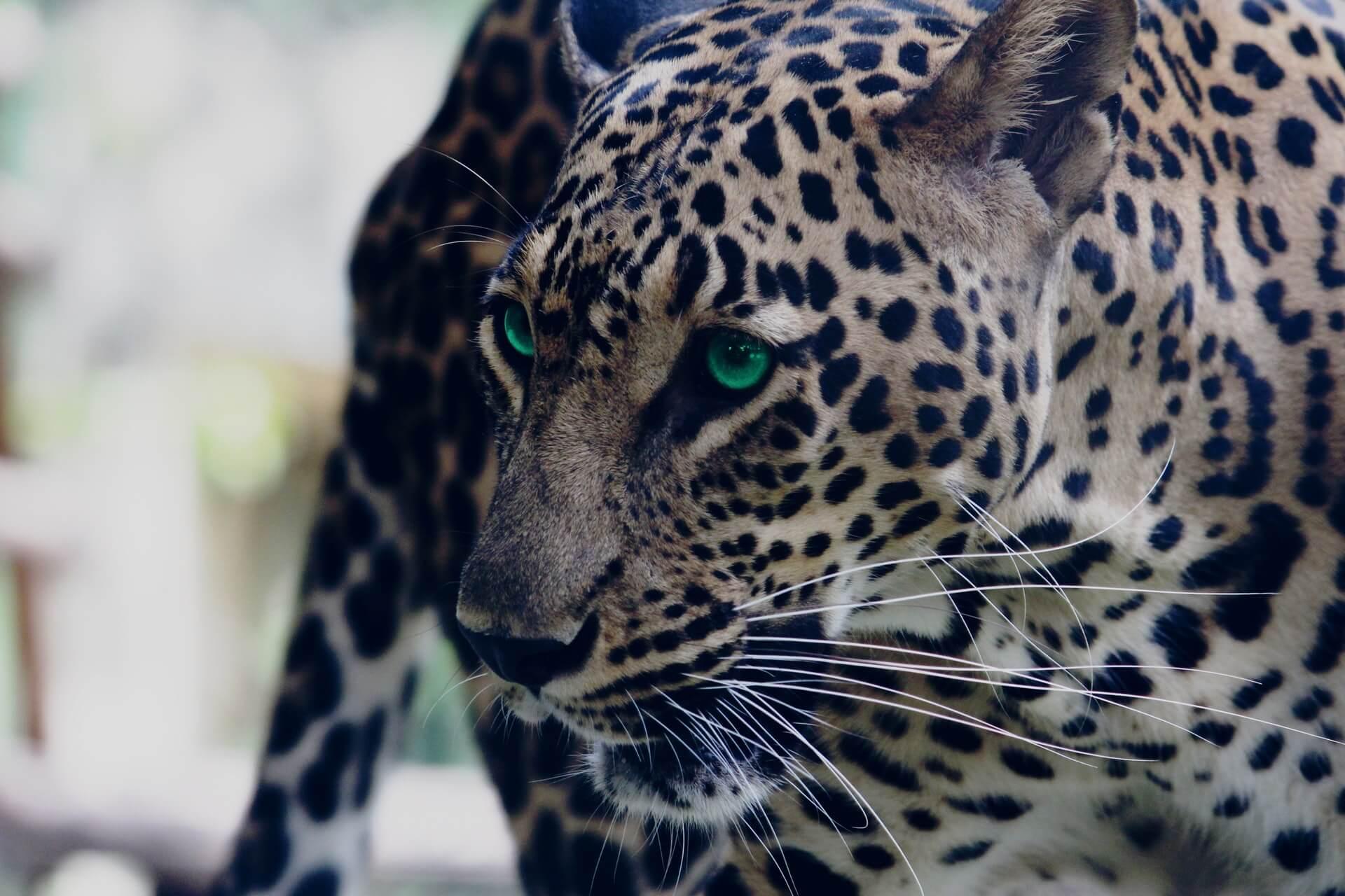 Die Leopardenfrau, Jan Blake erzählt