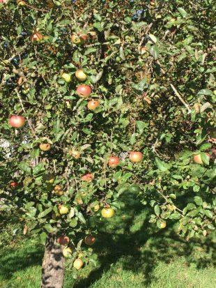 Hexe im Apfelbaum