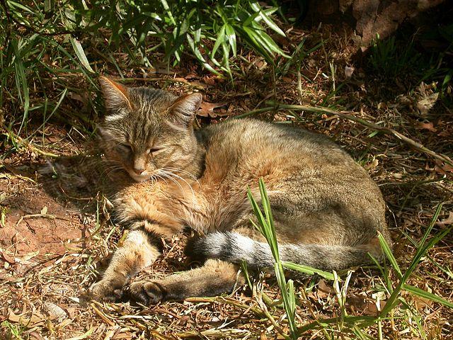 Afrikanische Wildkatze liegend