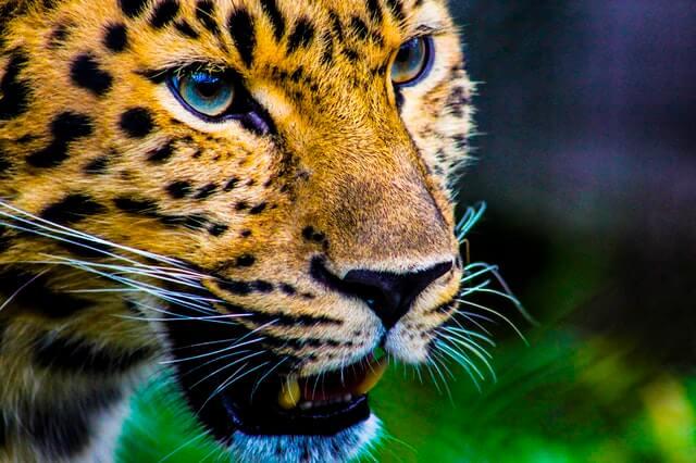 Leopard, Kopfansicht