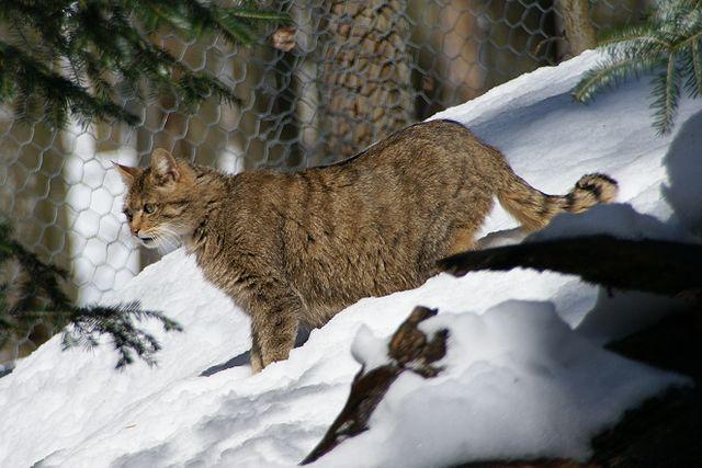 Europäische Wildkatze 2018