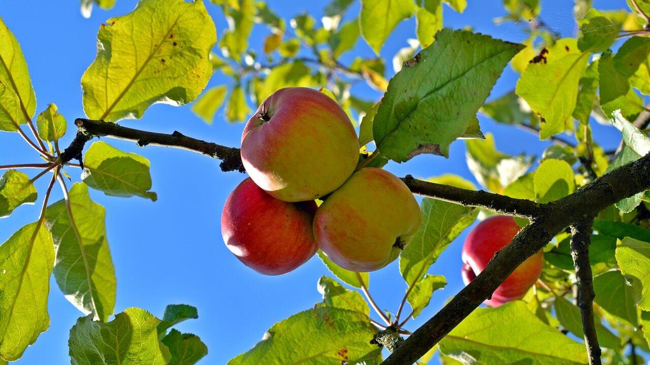 Saftige Äpfel von einer Hexe