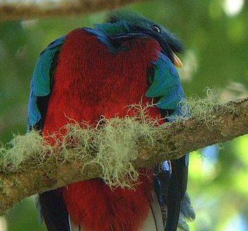 Quetzalvogel